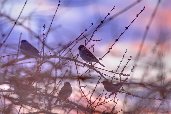 At Days End Birds Sunset pink purple sky tree branch
